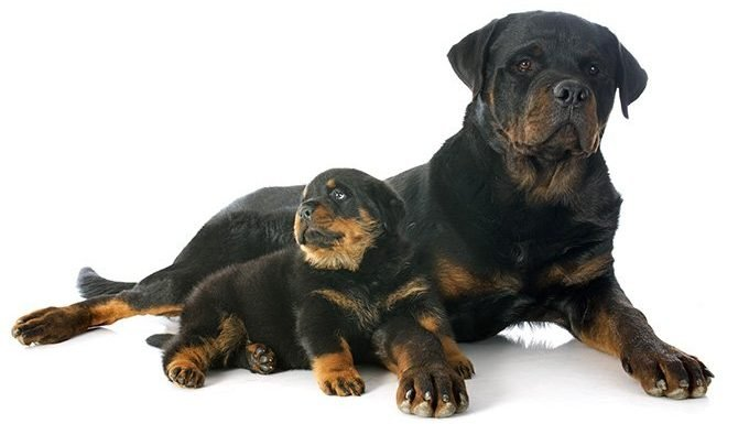 rottwieler puppy and mother
