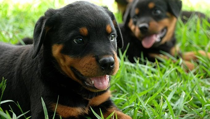 rottweiler puppies lying in the grass
