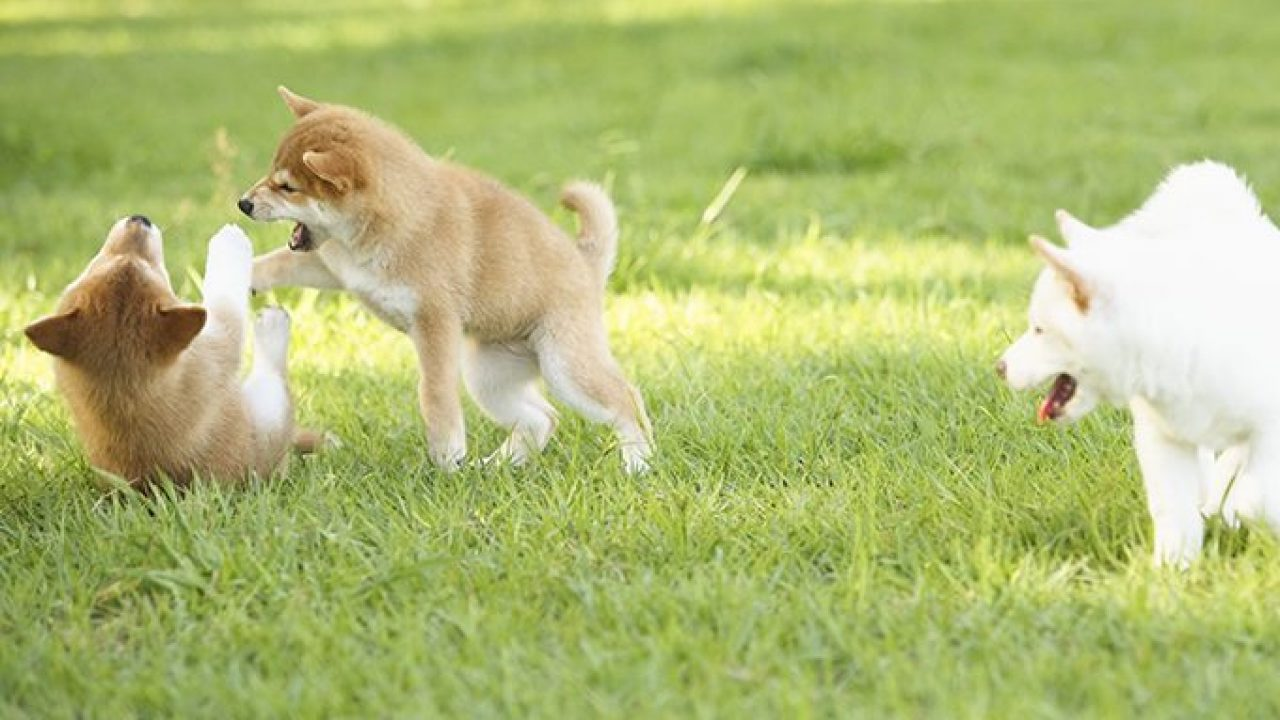 Shiba Inu Puppies Cute Pictures And Facts Dogtime