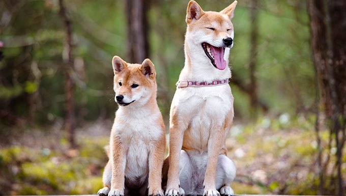 puppy and adult shiba inus