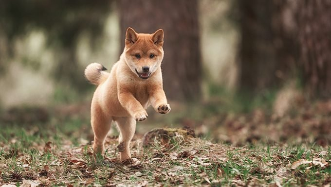 shiba inu puppy in forest