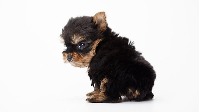 yorshire terrier puppy on white background