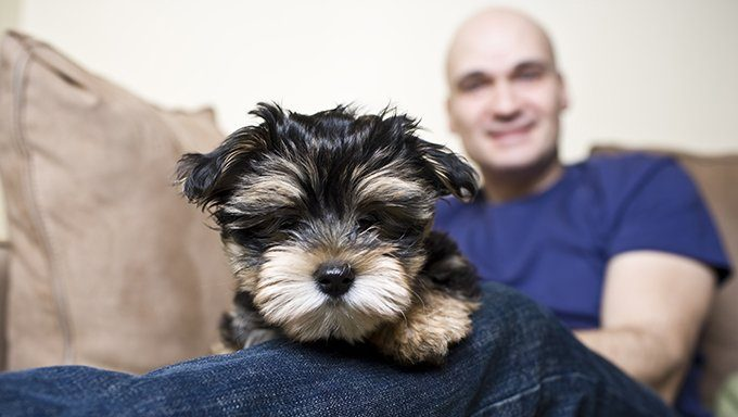 yorkie puppy lying on mans knee