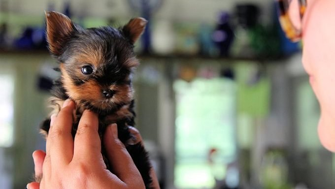 person holding small yorkie puppy