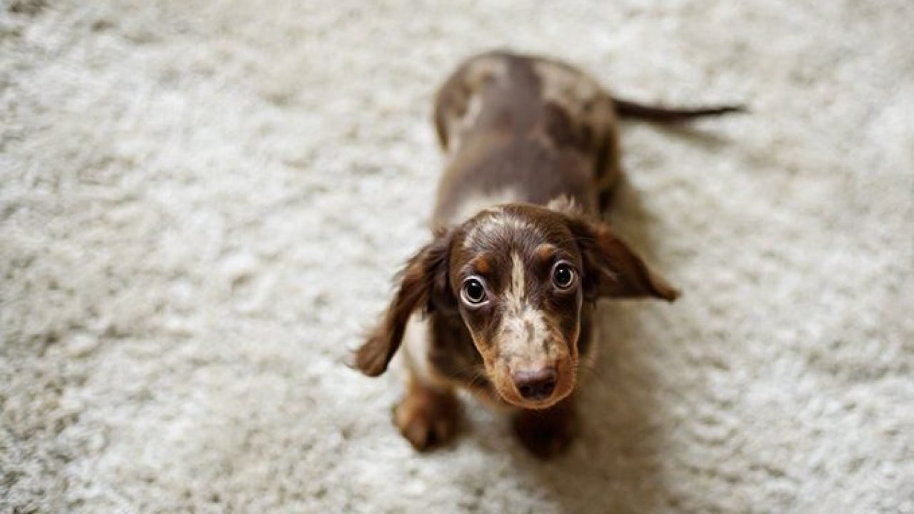 Dachshund Puppies Cute Pictures And Facts Dogtime