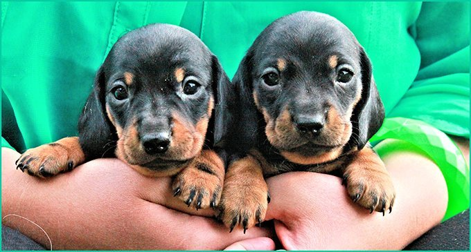 two dachshund puppies held by owner