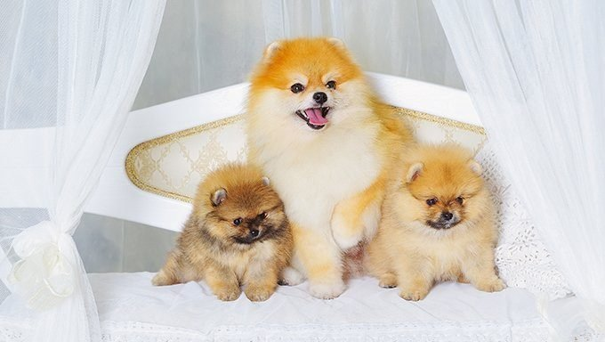 pomeranian puppies with mom