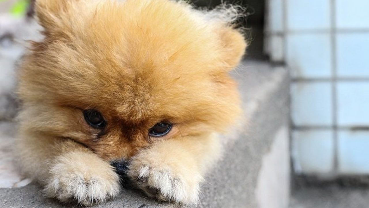 Pomeranian Puppies: Facts And Adorable Pictures - Dogtime