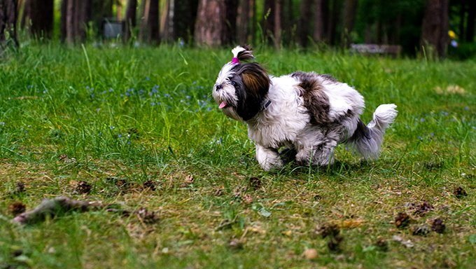 shih tzu running in yard