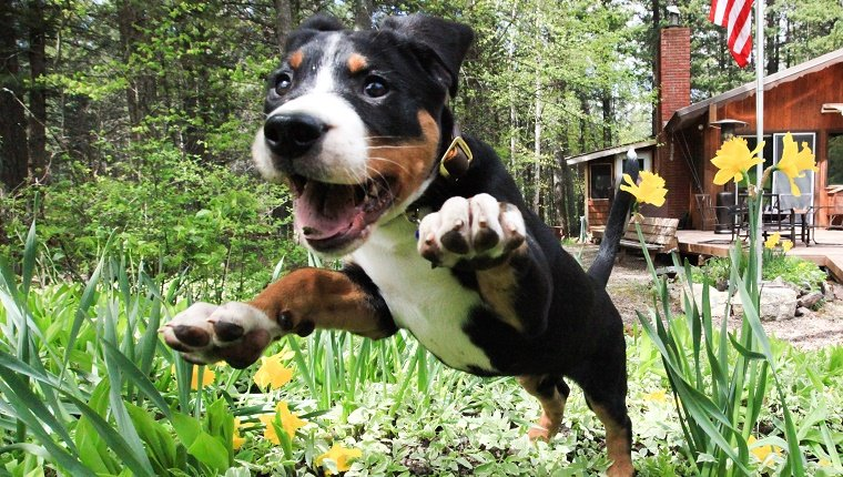 Bennett, a Greater Swiss Mountain Dog puppy, excitedly jumps through a new bed of flowers in early spring.