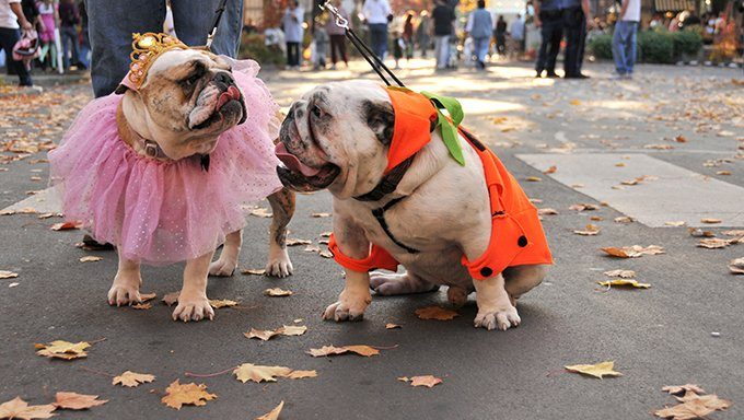 bulldogs in halloween costumes at parade