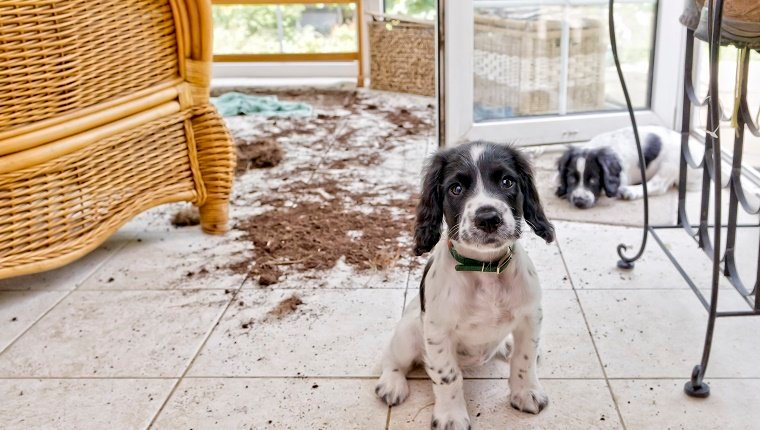 two naughty puppies looking sorry for themselves