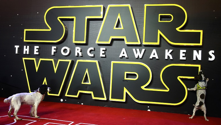 """Search handler's dogs check the red carpet ahead of the European Premiere of """"Star Wars The Force Awakens"""" in central London on December 16, 2015. Ever since 1977, when """"Star Wars"""" introduced the world to The Force, Jedi knights, Darth Vader, Wookiees and clever droids R2-D2 and C3PO, the sci-fi saga has built a devoted global fan base that spans the generations. AFP PHOTO / JUSTIN TALLIS / AFP / JUSTIN TALLIS"""