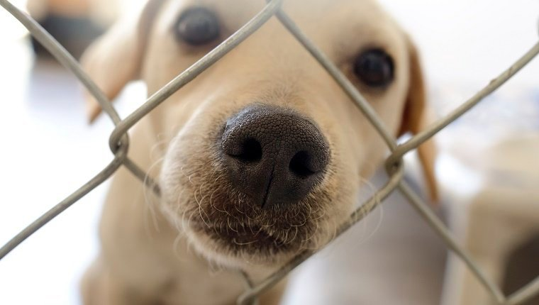 Shelter dog is cute dog in an animal shelter poking his nose through the fence wondering who is going to take him home.