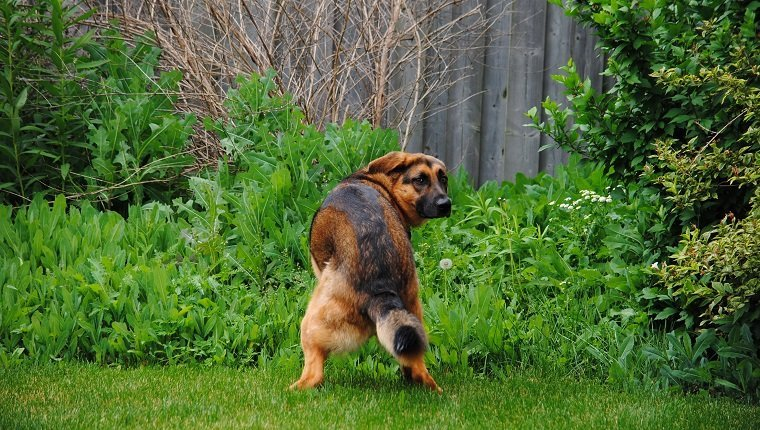 German Shepherd dog looks back at camera while squatting to poop in the grass