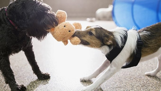 dogs play tug-of-war with toy