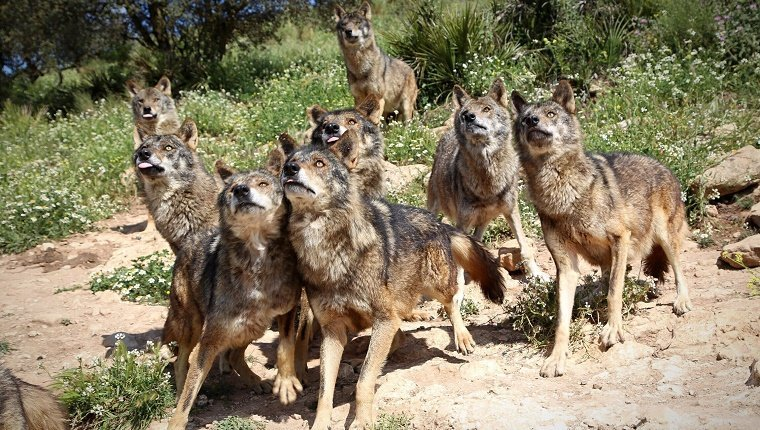 View Of Wolf Pack
