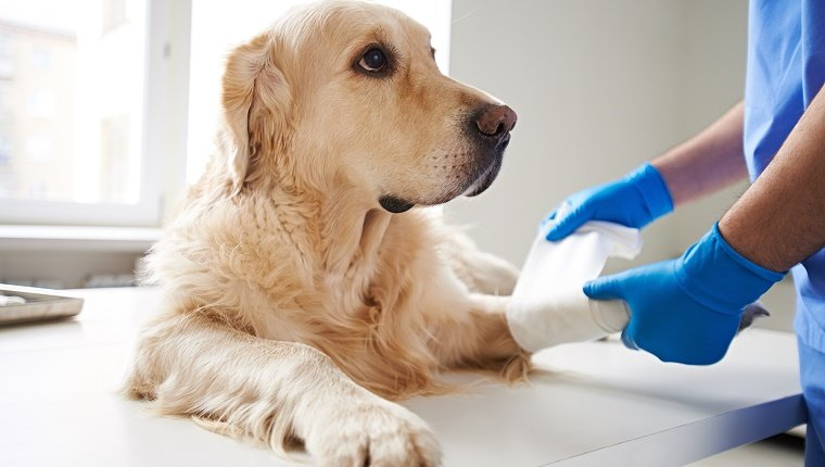 Veterinarian wrapping bandage around a dog's leg