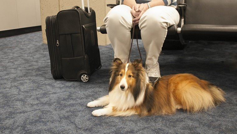 Service dog and owner sitting at airport waiting to board the plane