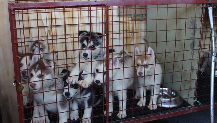 Close-Up Of Siberian Husky Puppies In Cage