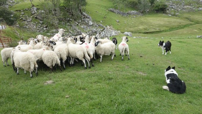 two border collies herd sheep