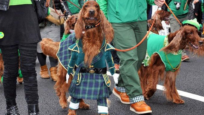 two irish setters in st. patrick's day parade