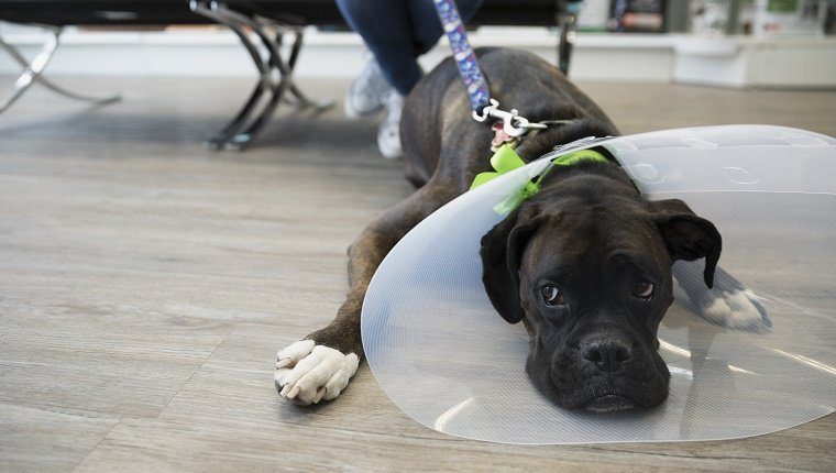 Dog with cone laying in veterinarian clinic lobby
