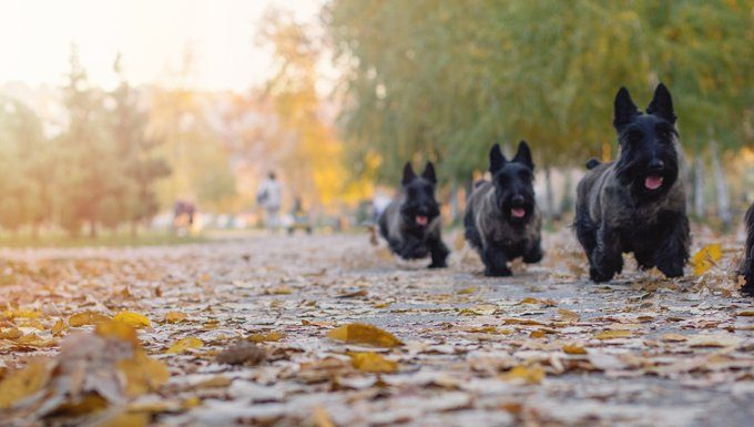 scottish terriers run in a park