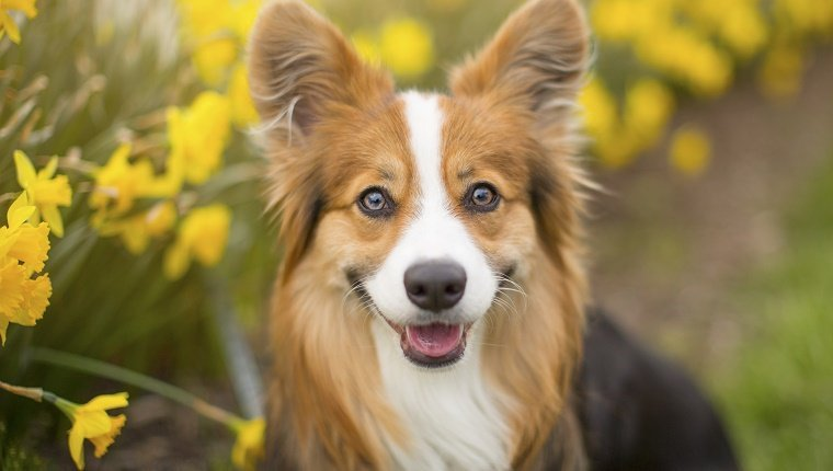 """Long-haired, """"fluffy"""" Pembroke Welsh Corgi dog sitting among a row of beautiful spring daffodils and a white picket fence"""