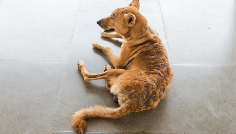Closeup to a dog with missing fur on it's back from a skin problem, fleas or alopecia (hair loss).
