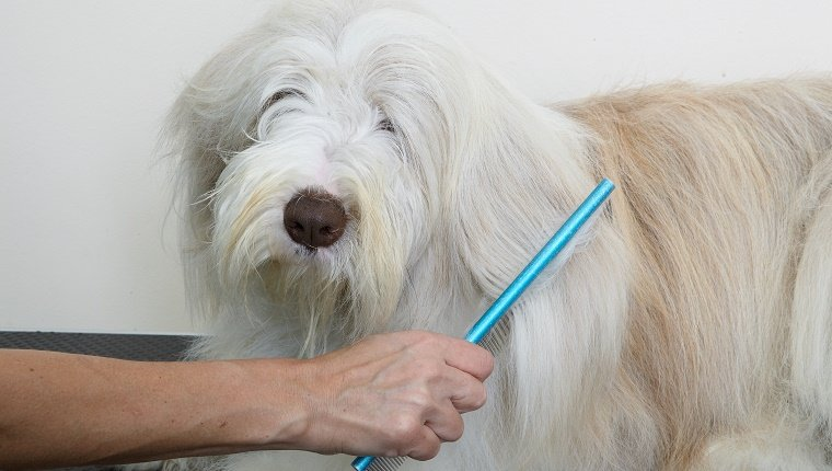 Bearded Collie, combing coat in grooming parlour