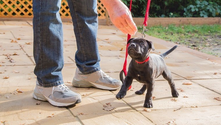 A cute black Staffordshire bull terrier puppy with a red collar and red leash, standing on three legs, being trained by a man in jeans and trainers holding a treat for the puppy.