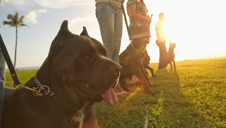 Owners training dogs in field