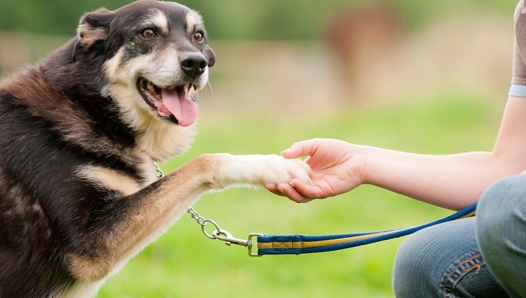Elderly dog puts it's paw into the outstretched hand of it's owner in a trusting and loving handshake.