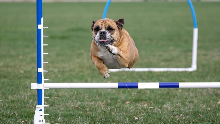 Bulldog doing agility in the park going over a jump