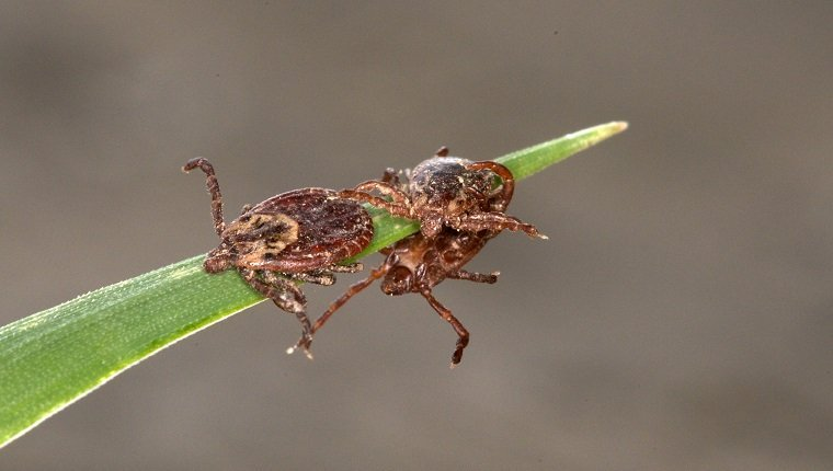 Close-up of Wood Tick or American Dog Ticks on grass, mating. (Dermacentor variabilis), Near Thunder Bay, ON, Canada.