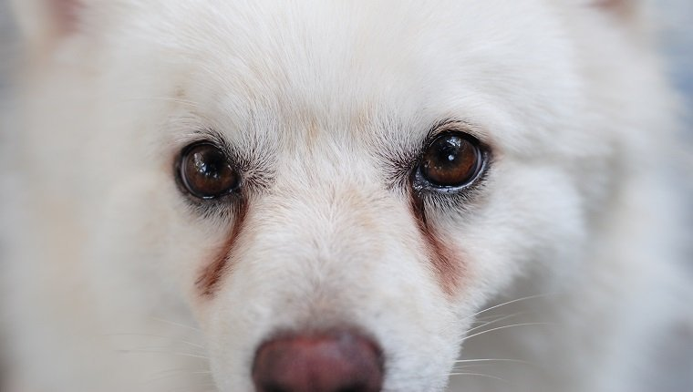 White puppy having obvious stains on its eyes caused by eye discharge.