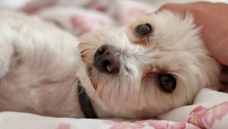 Dog lying down on bed while looking at the camera