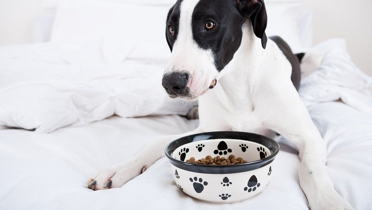 Dog Great Dane eating in bed