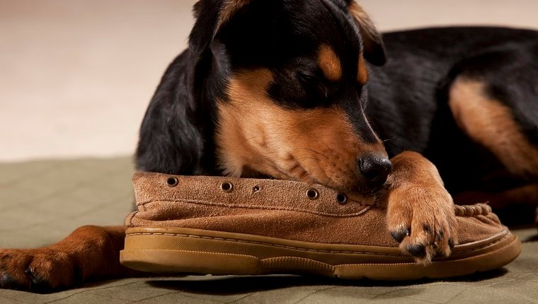 Rottweiler lying down chewing on a shoe
