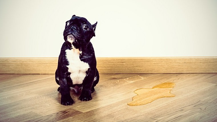 Puppy Frence Bulldog made a pee on parquet floor