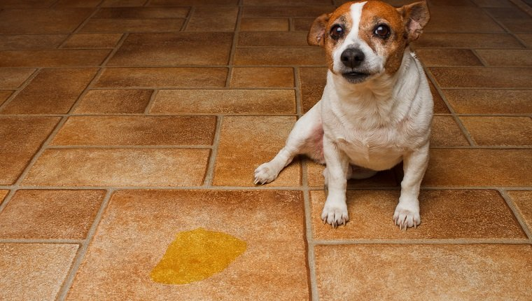 Terrier guiltily sitting beside puddle of it's urine on a tile floor