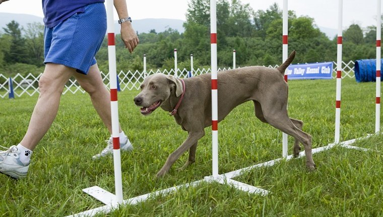 Weimaraner dog walking through weave poles with owner beside during dog training class.