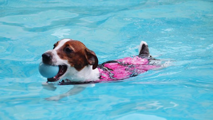 dog swimming with ball in pool