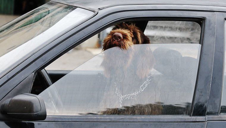 """Dog apparently checking his wing mirror as he drives the car. Good business metaphor playing on the idea of being in the driving seat. Could also suit concepts of safe driving, road rage and animal welfare."""