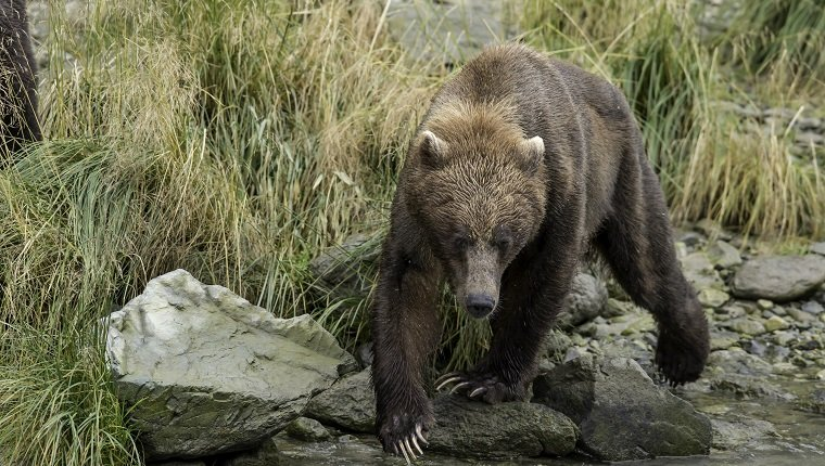 This female Alaskan Brown bear has two second year cubs and is searching alomg a river bank for Salmon. The Coho run is late this year and she is having no luck. She seems to be in poor condition, but her two 2 year old cubs were healthy, well fed, and very playful.