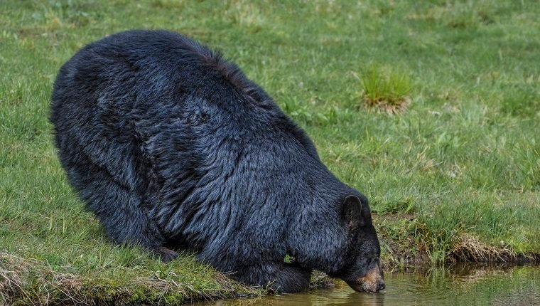 A large adult black bear is leaning on his forearm, and drinking for a pond.