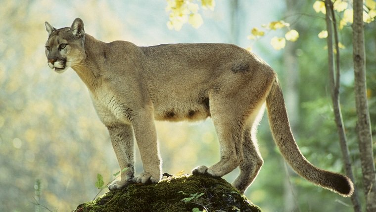 Adult female cougar (Puma concolor), Alberta, Canada.
