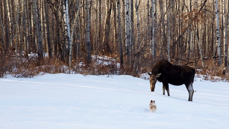 Dog And Moose On Snow Covered Field