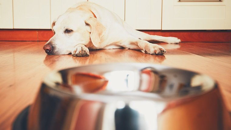 The dog in front of the empty bowl. Hungry labrador retriever waiting for feeding in the kitchen. May have acid reflux.